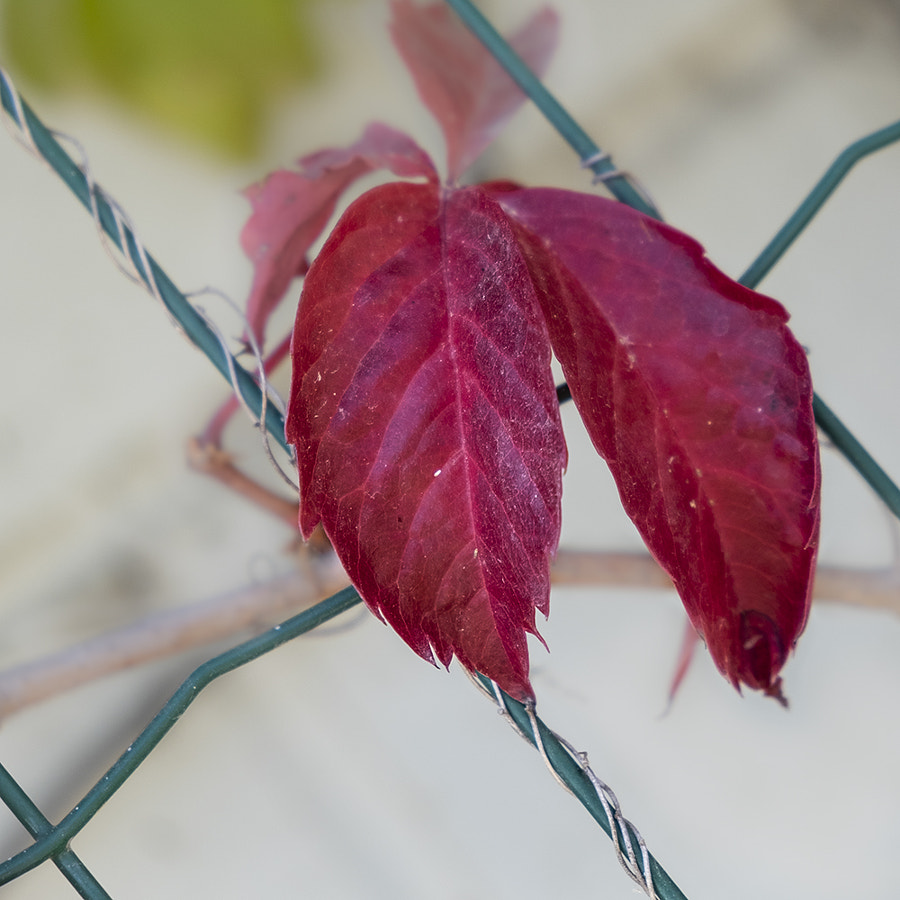 Red leaves in jail by Ana V. on 500px.com