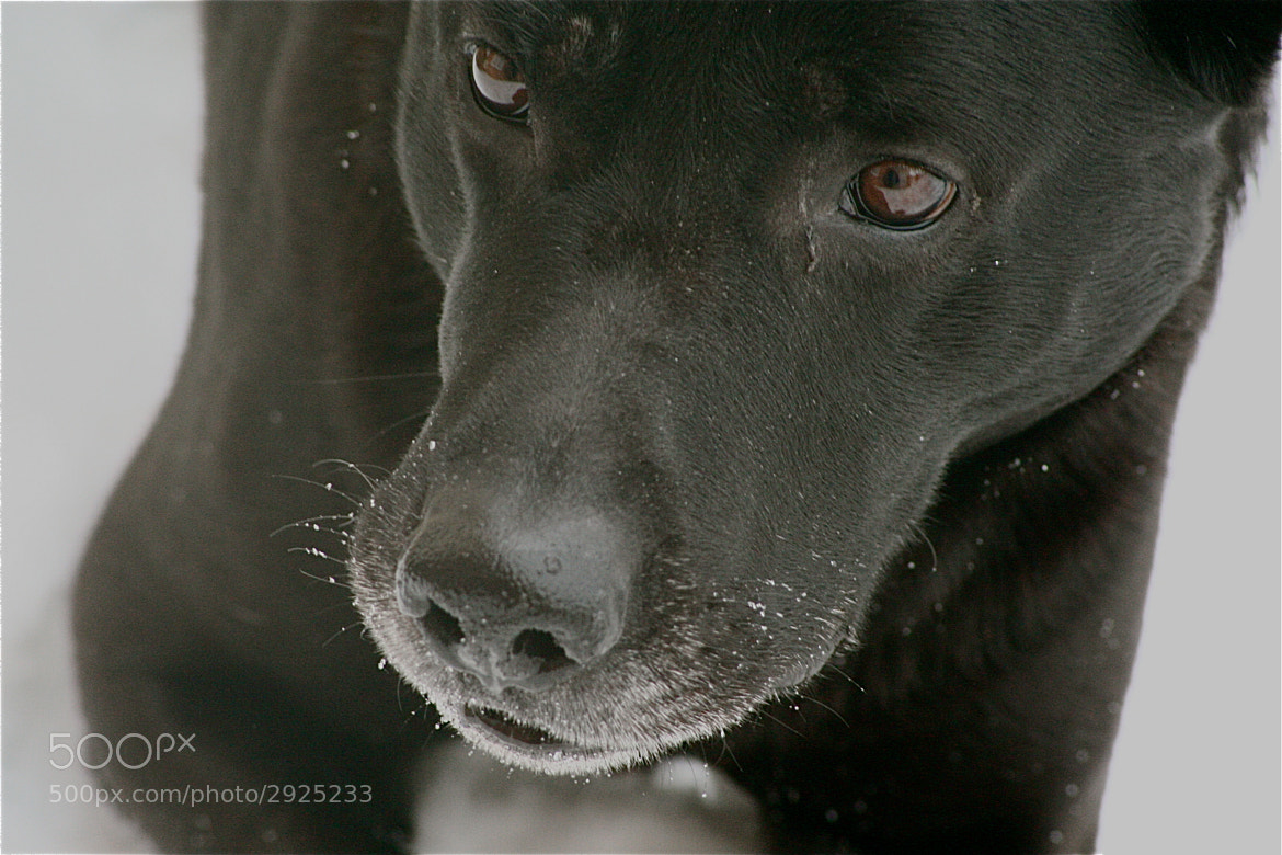 Photograph Dog soul winter by Elizabeth Fagerlund on 500px