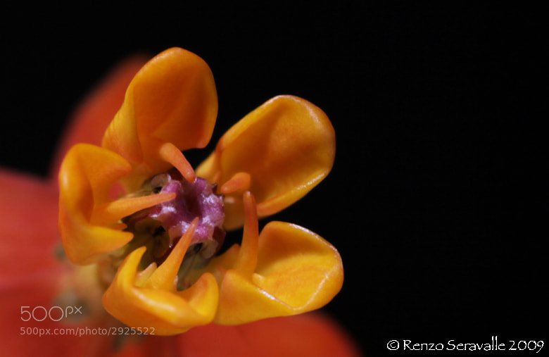 Photograph Yellow Crown by Renzo  Seravalle on 500px