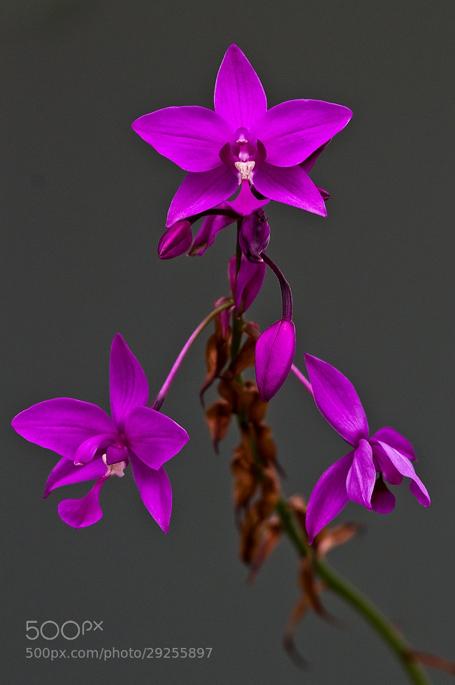 Photograph orchid by Marcelo Camacho on 500px
