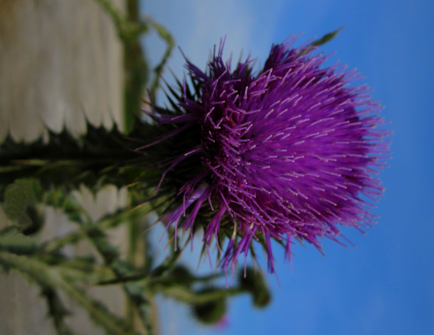 Photograph Thistle by ÁngelDeGuardia * on 500px