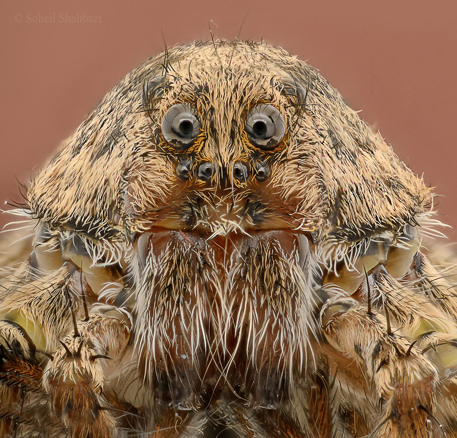 Photograph Angry Wolf Spider by Soheil Shahbazi on 500px