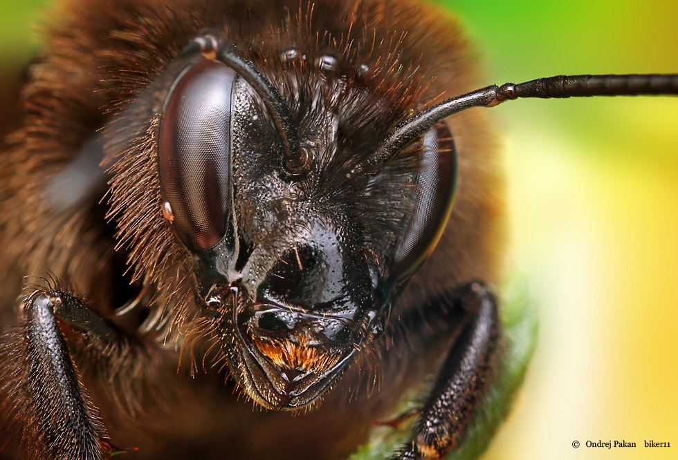 Photograph Turbo bee by Ondrej Pakan on 500px