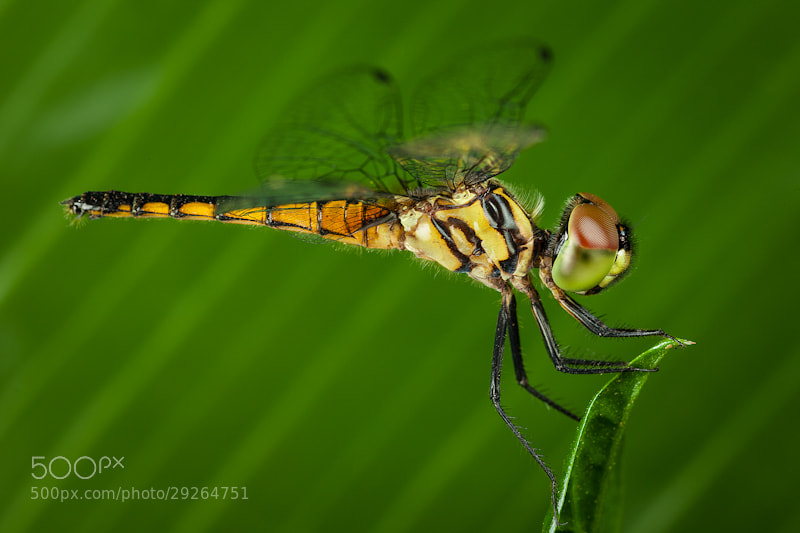 Photograph Dragonfly by Lo Ma on 500px