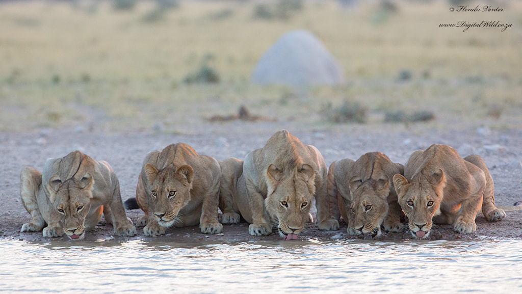 Photograph Thirsty Pride by Hendri Venter on 500px