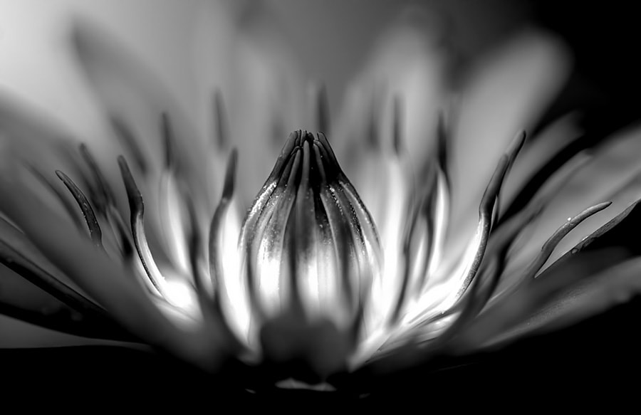 Photograph Water Lily by Sirinat Tanamai on 500px