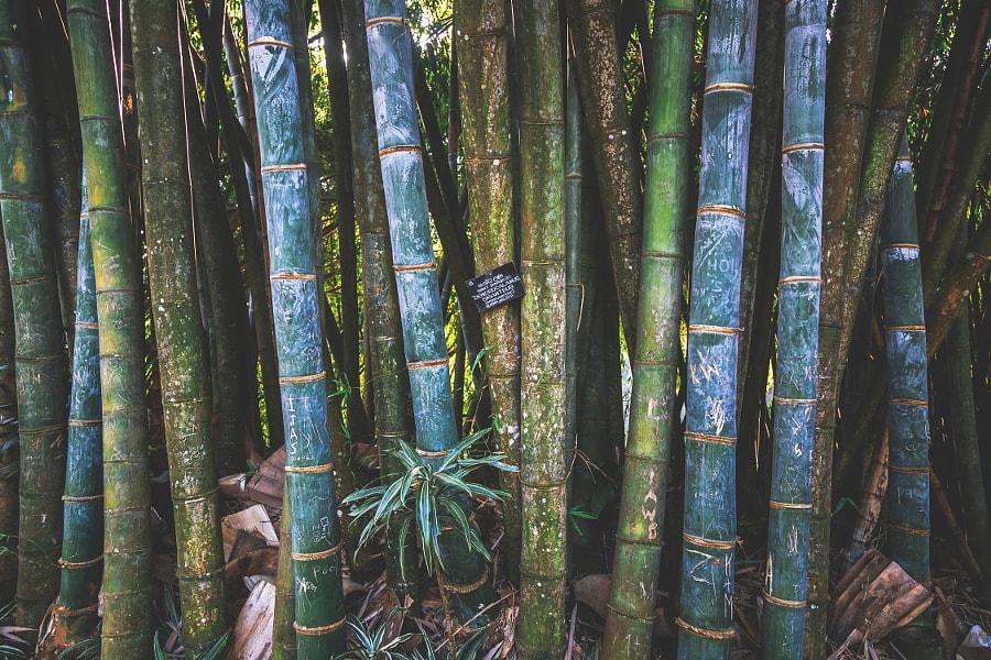 Giant Bamboo, Royal Botanical Gardens, Peradeniya by Son of the Morning Light on 500px.com