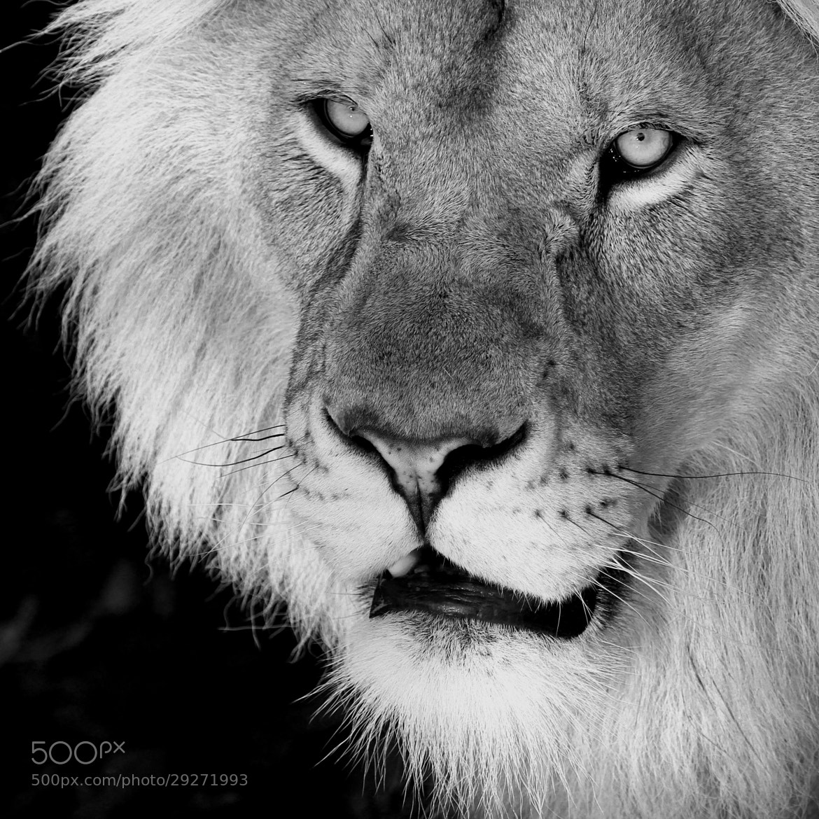 Photograph Lion by Alan Hinchliffe on 500px