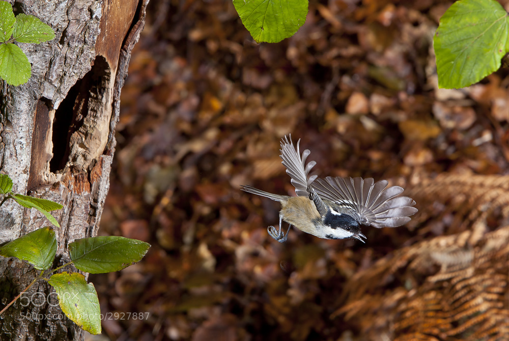 Photograph Coal Tit by Dale Sutton on 500px