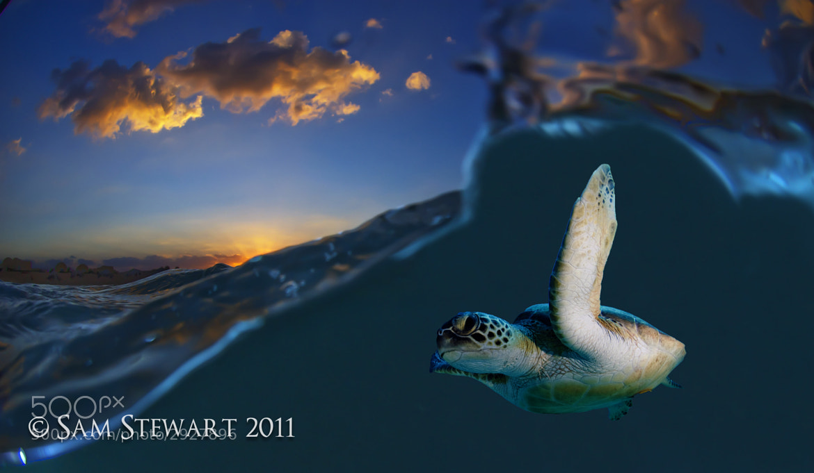 Photograph Turtle At Sunset  by Sam  Stewart on 500px