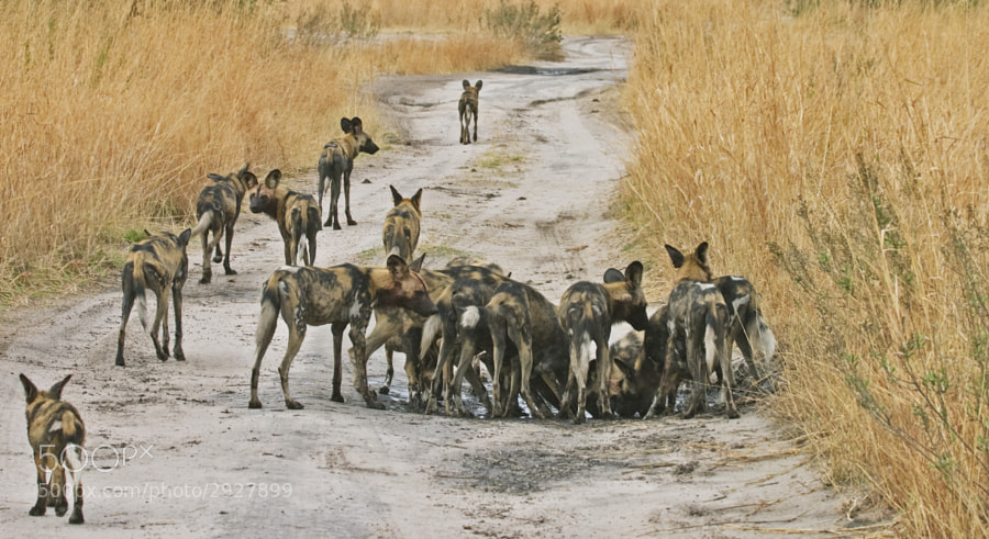 A pack of Wild Dog stop for refreshnemts in Zibilianja, Botswana