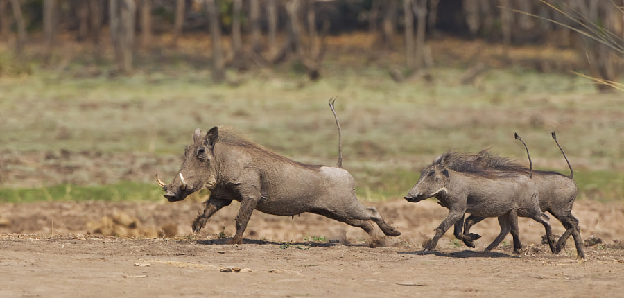 These Warthog did not seem to like our presence, taken in Mana Pools, Zimbabwe