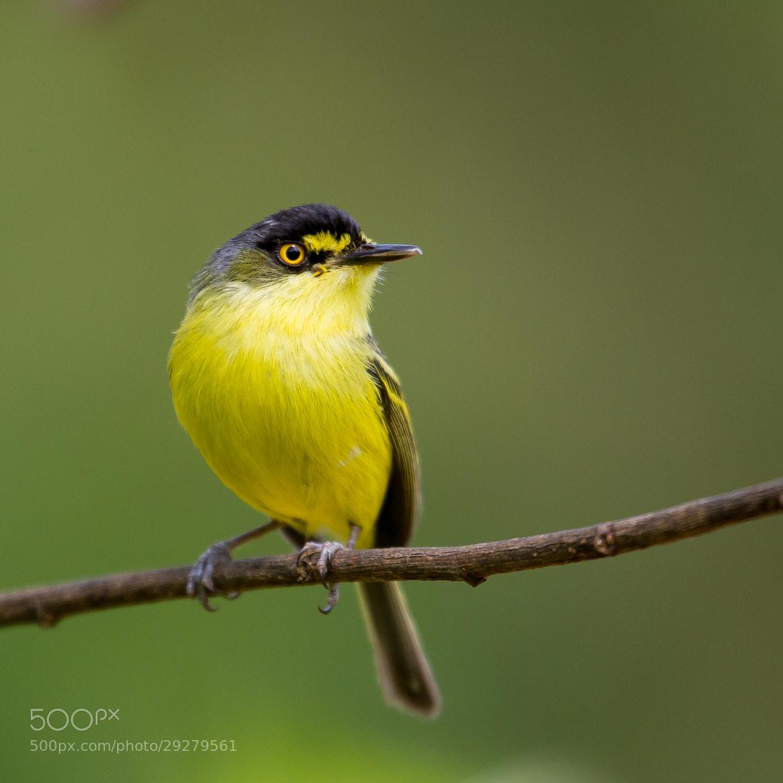 Photograph Yellow-lored Tody-Flycatcher (Todirostrum poliocephalum) by Bertrando Campos on 500px
