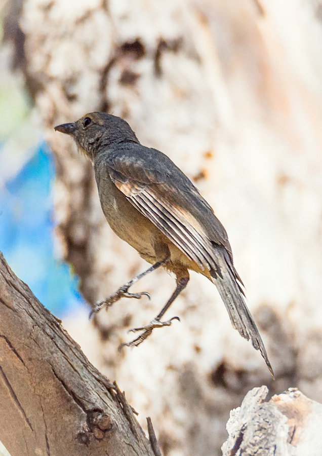 Southern Scrub Robin by Paul Amyes on 500px.com