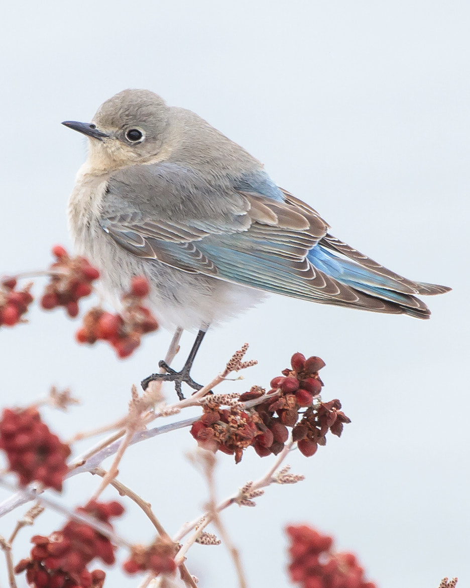 Photograph Female Mountain Bluebird by Brandon Downing on 500px
