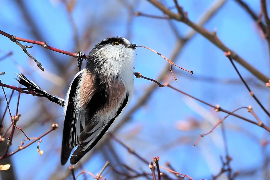 long-tailed-tit by shoji uno on 500px.com