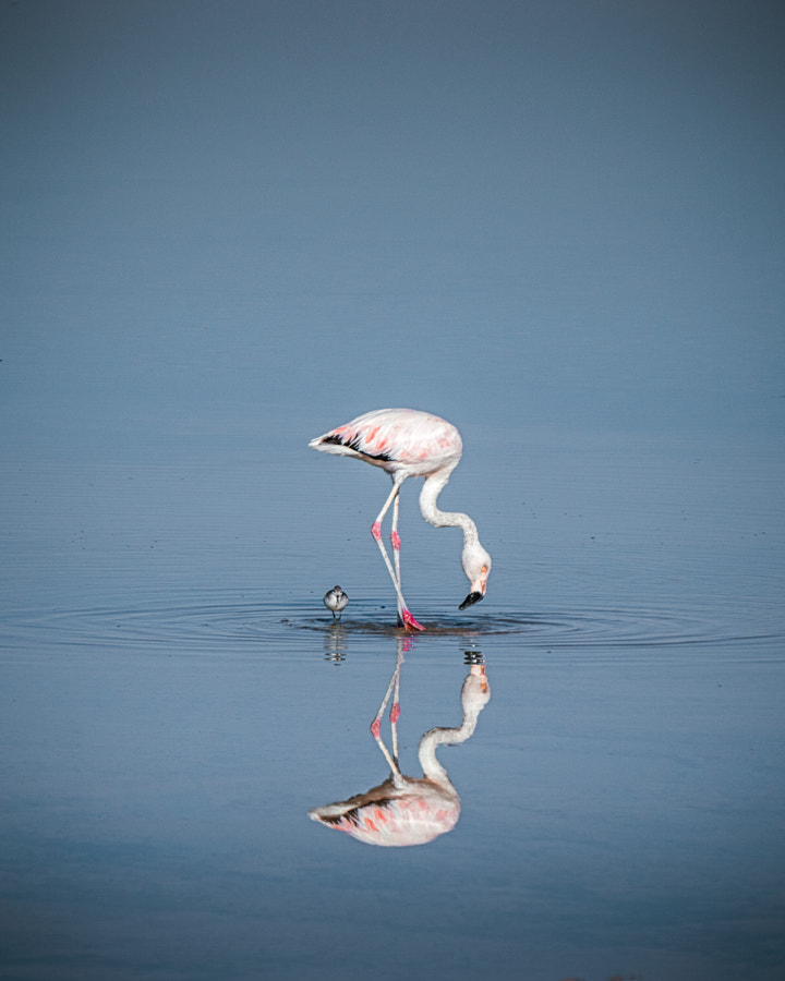 Flamingo reflection by Oliver Heinrichs on 500px.com