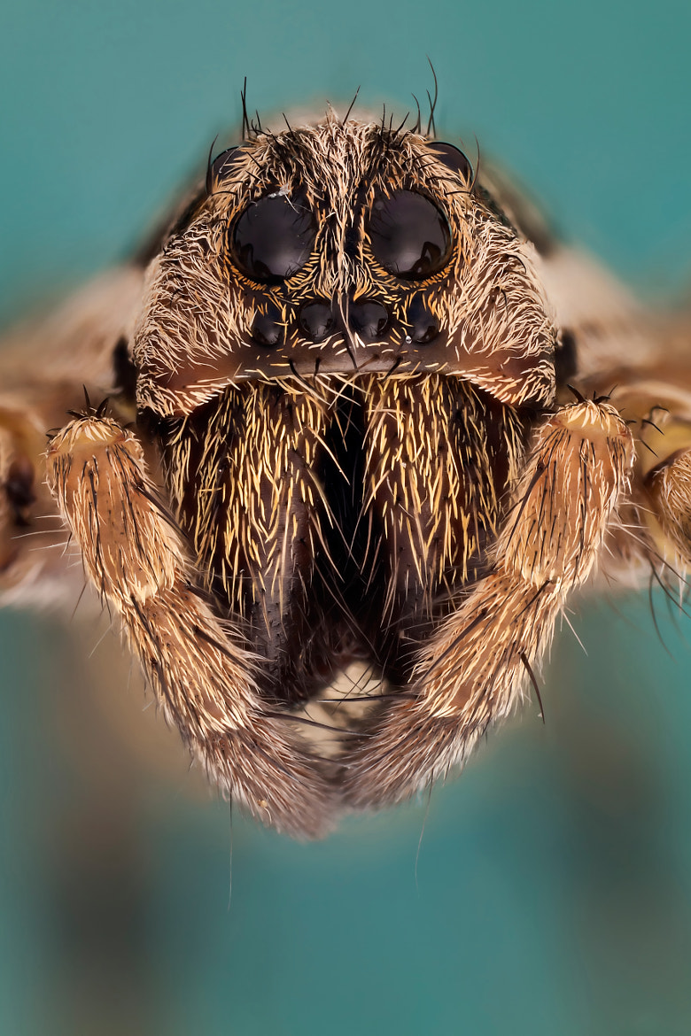 Photograph Spider portrait 5:1 by Javier Torrent on 500px