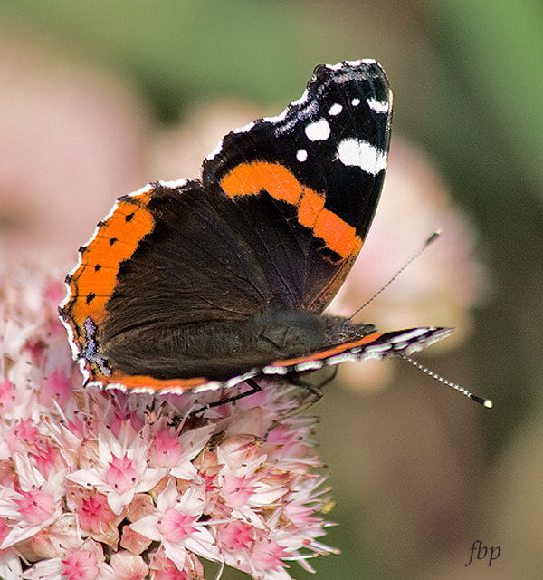 Photograph A Red Admiral by Dave Smith on 500px