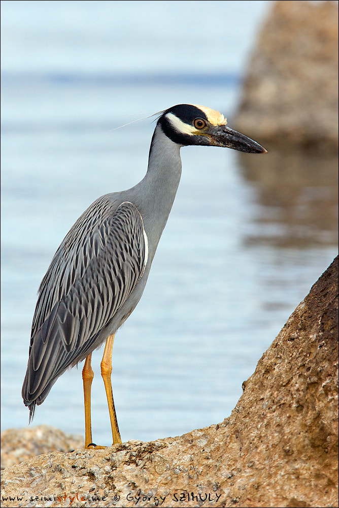 Photograph Yellow-crowned Night Heron (Nyctanassa violacea) by Gyorgy Szimuly on 500px