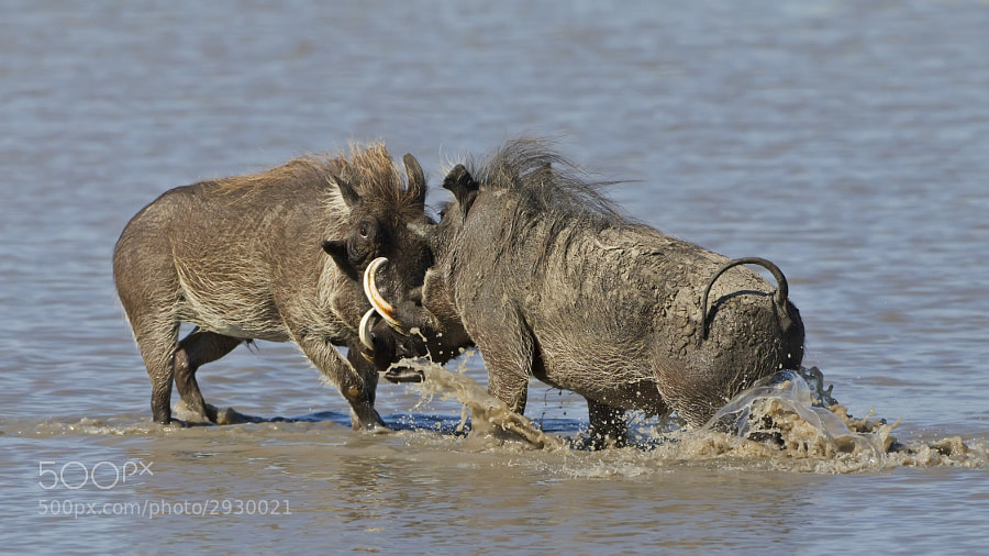 Just found this on a back up hard drive. Two warthogs were fighting in a waterhole something I had never seen before or since, taken in Savute Marsh, Chobe National Park, Botswana