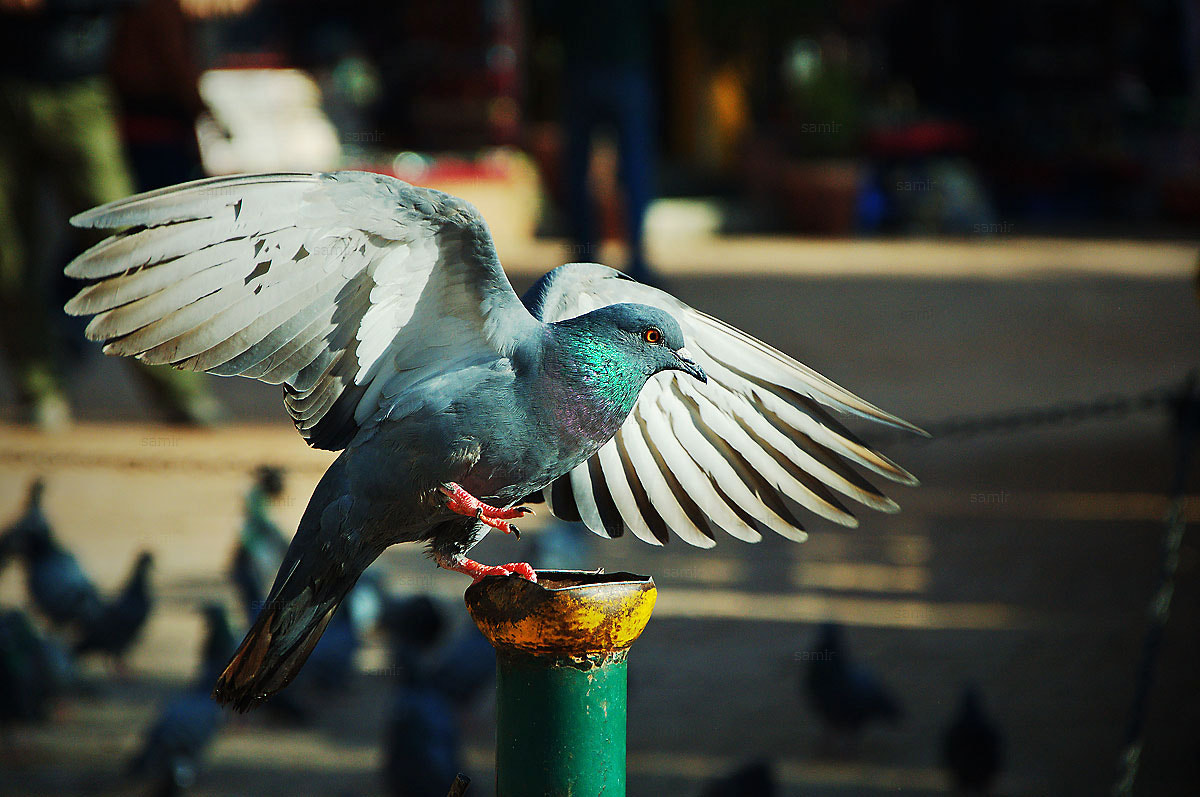 Photograph Dancing Pigeon by Samir Pradhananga on 500px