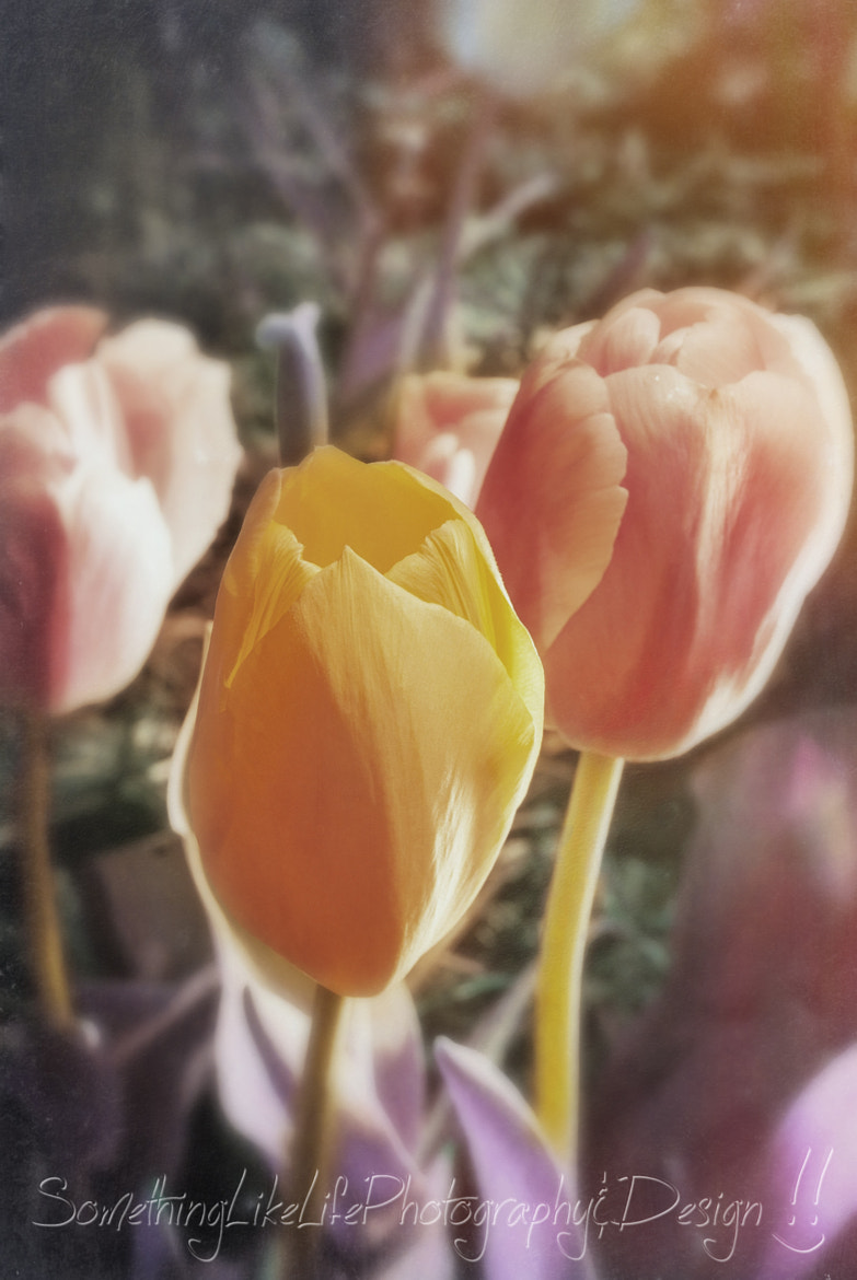 Photograph Tulips. by Nicole Roloff on 500px