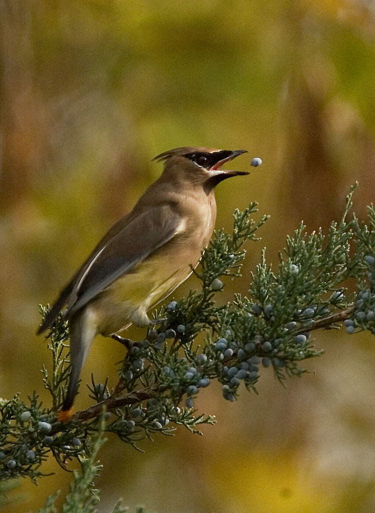 Photograph Cedar Waxwing by Phil Armishaw on 500px
