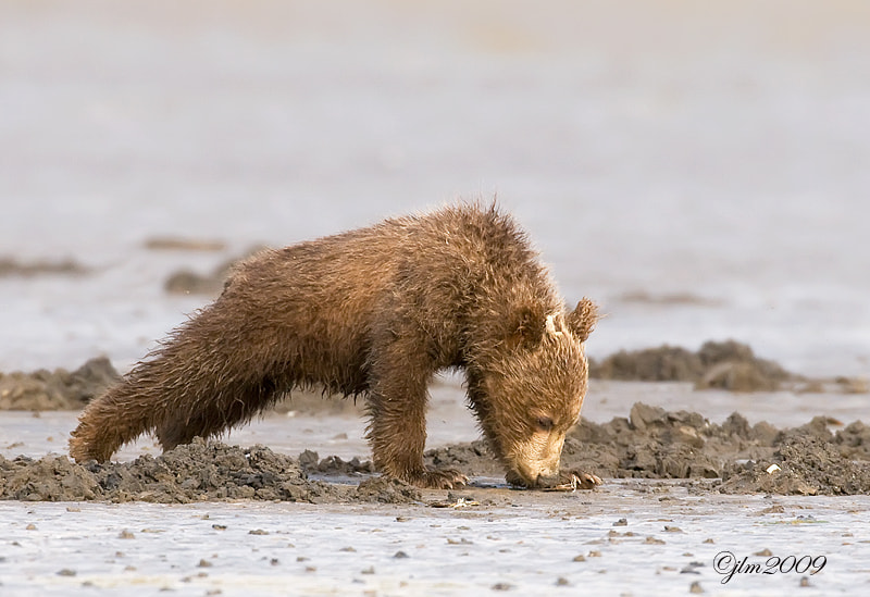 This littlle grizzly cub looked like he was doing his morning push-ups but in actually he was looking for clams !!!   They never gave us a moment without something to smile at.  Theyare adorable and so hard to believe that  they could actually one day be dangerous.