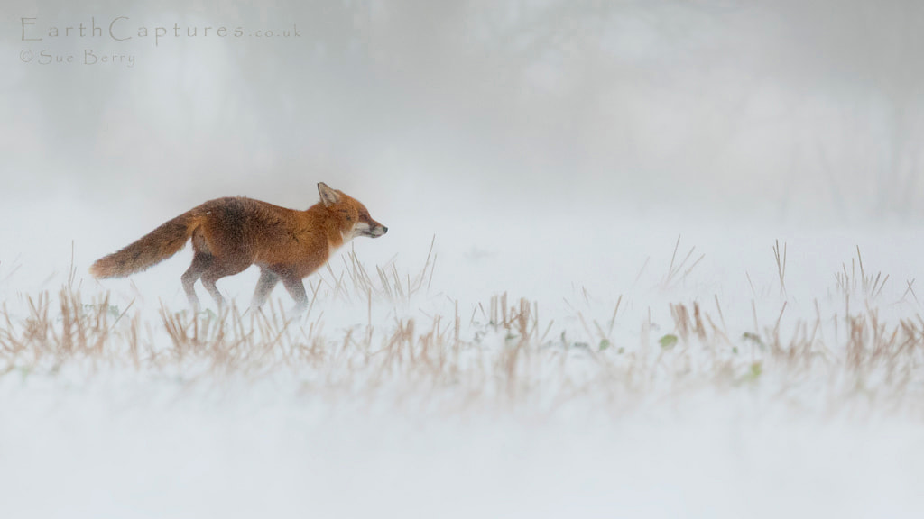 Photograph Dashing through the snow! by Sue Berry on 500px