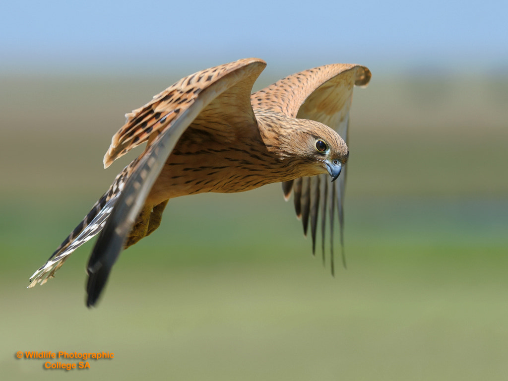 Photograph Greater Kestral by Jay van Rensburg on 500px