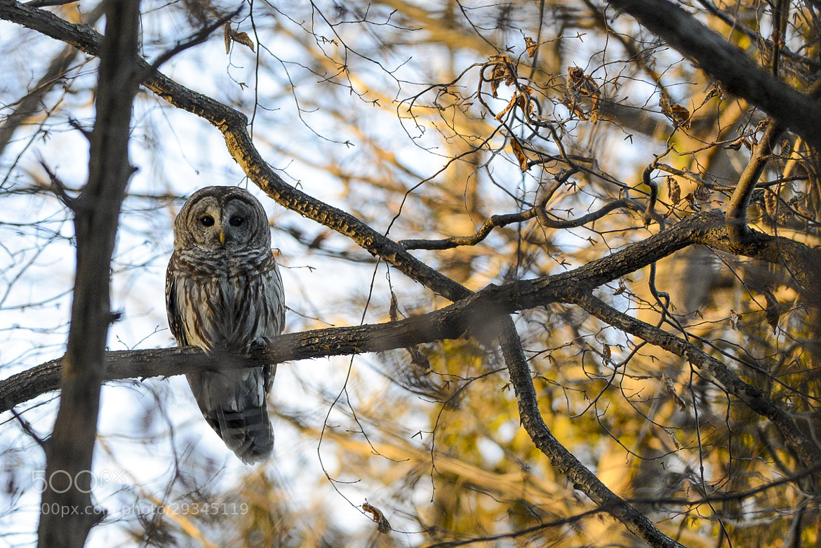 Photograph Barred Owl by Justin Russo on 500px