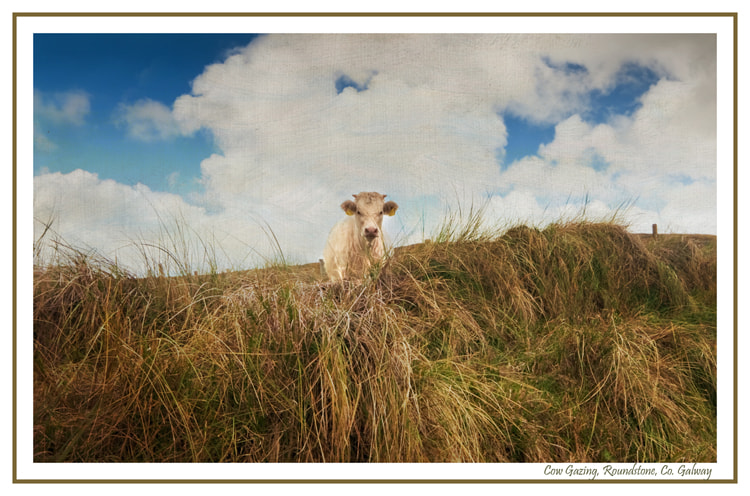 Photograph Cow Gazing at Roundstone by Anne Francis-Nee on 500px