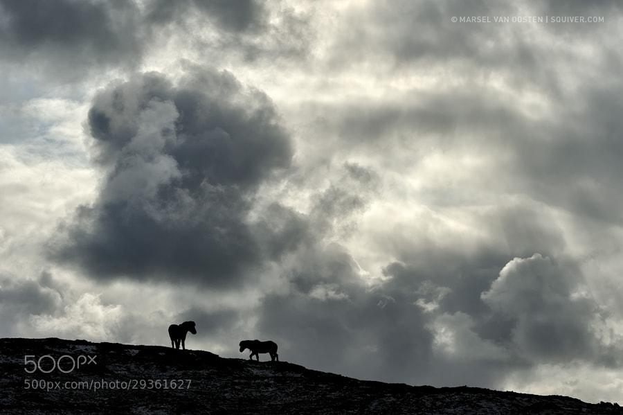 Photograph Icelandic Horses by Marsel van Oosten on 500px