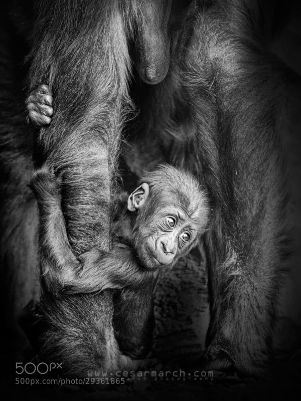 Photograph Baby gorilla by Cesar March on 500px