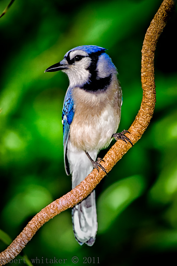 Blue Jays are such photo hams.