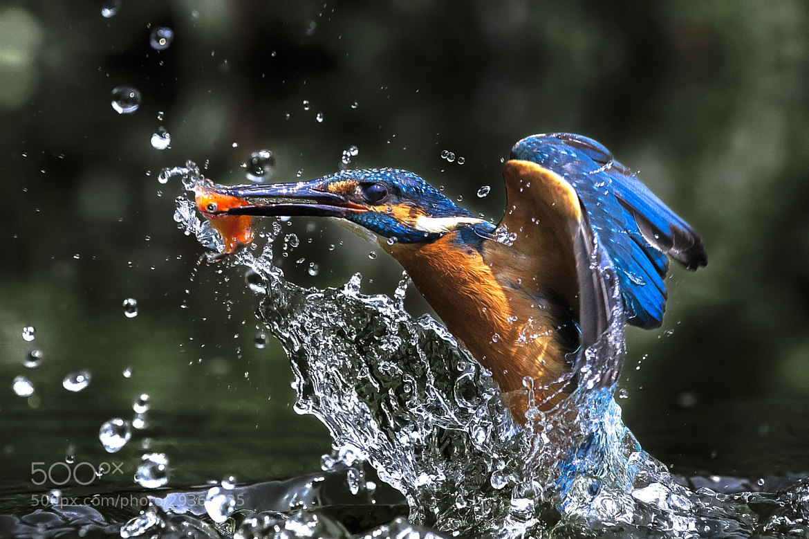 Photograph Kingfisher Taiwan by 橘 子 on 500px