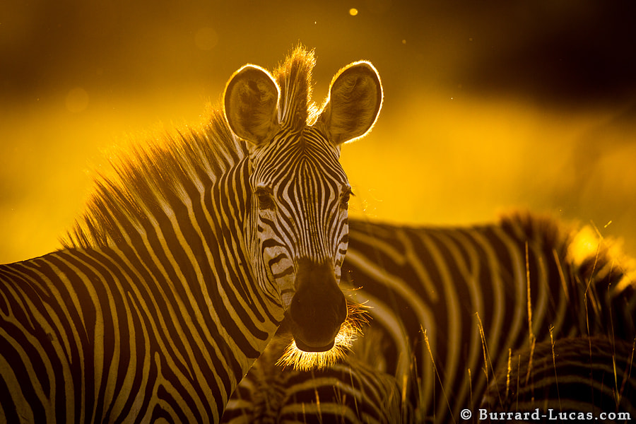Photograph Zebra Sunset by Will Burrard-Lucas on 500px