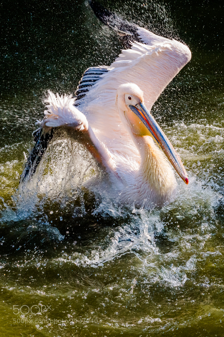 Photograph Pelican by Andrej Štojs on 500px
