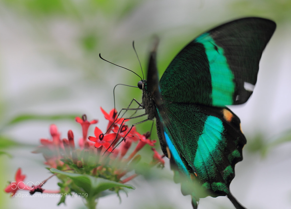 Photograph Emerald Swallowtail by Eva Lechner on 500px