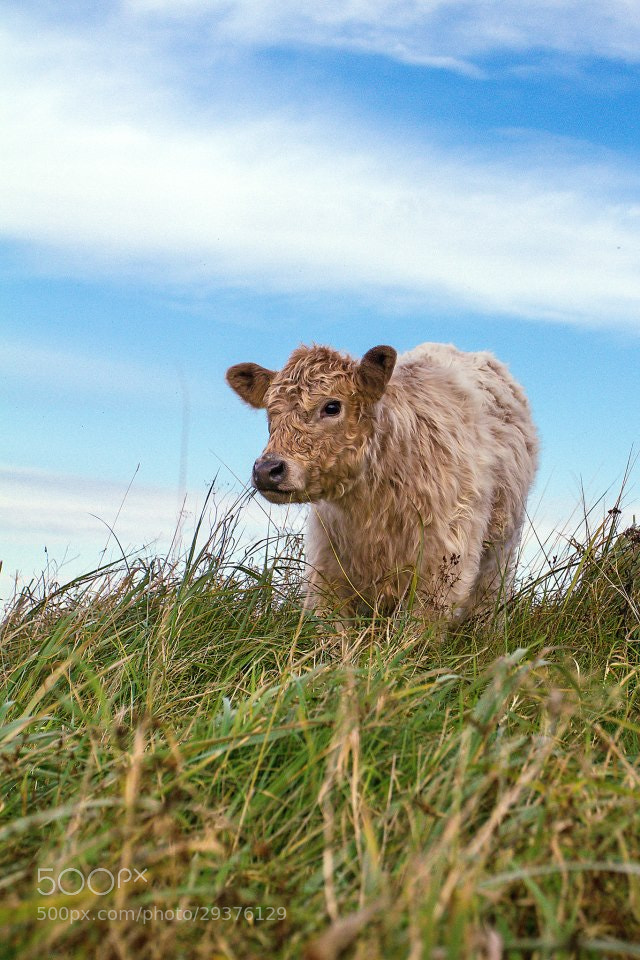 Photograph Cow Cow by Alexander Zachen on 500px