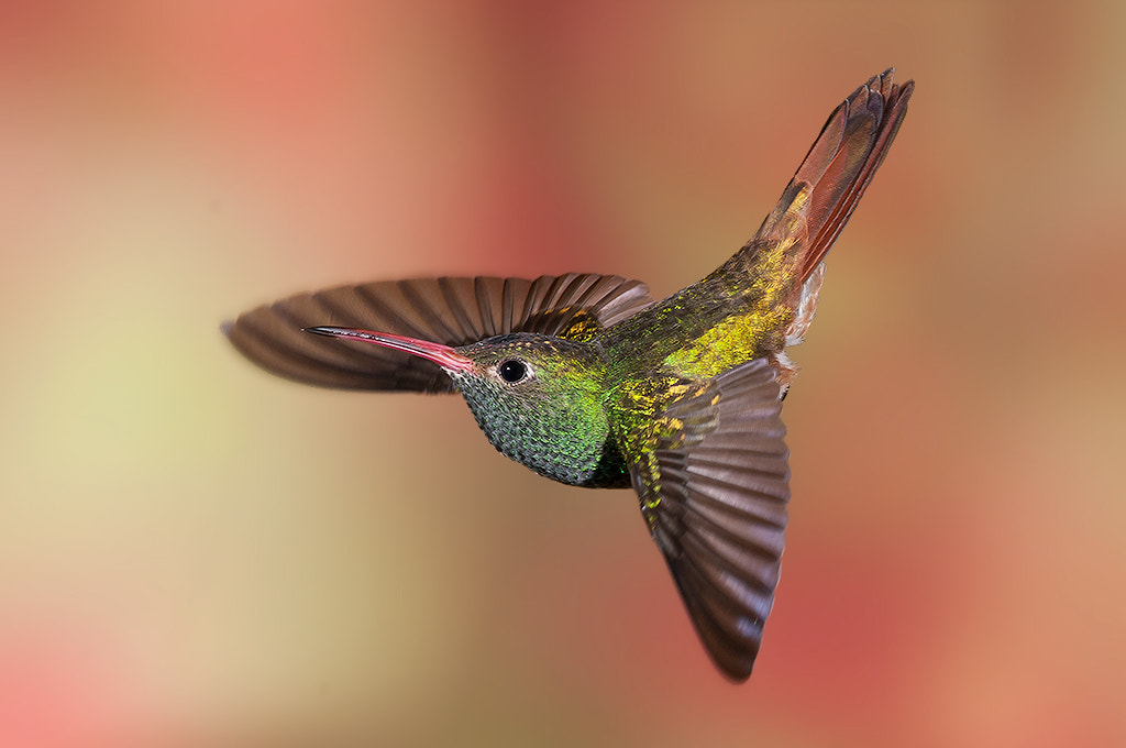Photograph Buff-Bellied Hummingbird by Roy Priest on 500px