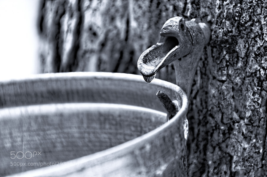 Maple syrup season is back...