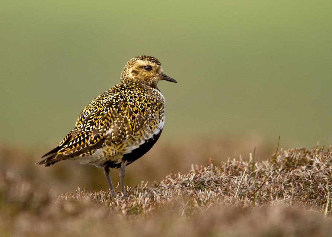Photograph Golden Plover by Giedrius Stakauskas on 500px