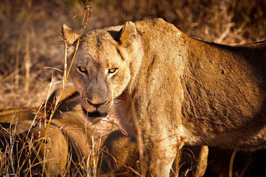 Kruger National Park SABI SABI Her belly full of Wildebeest but still the ultimate preditor. What food chain? They are all food!