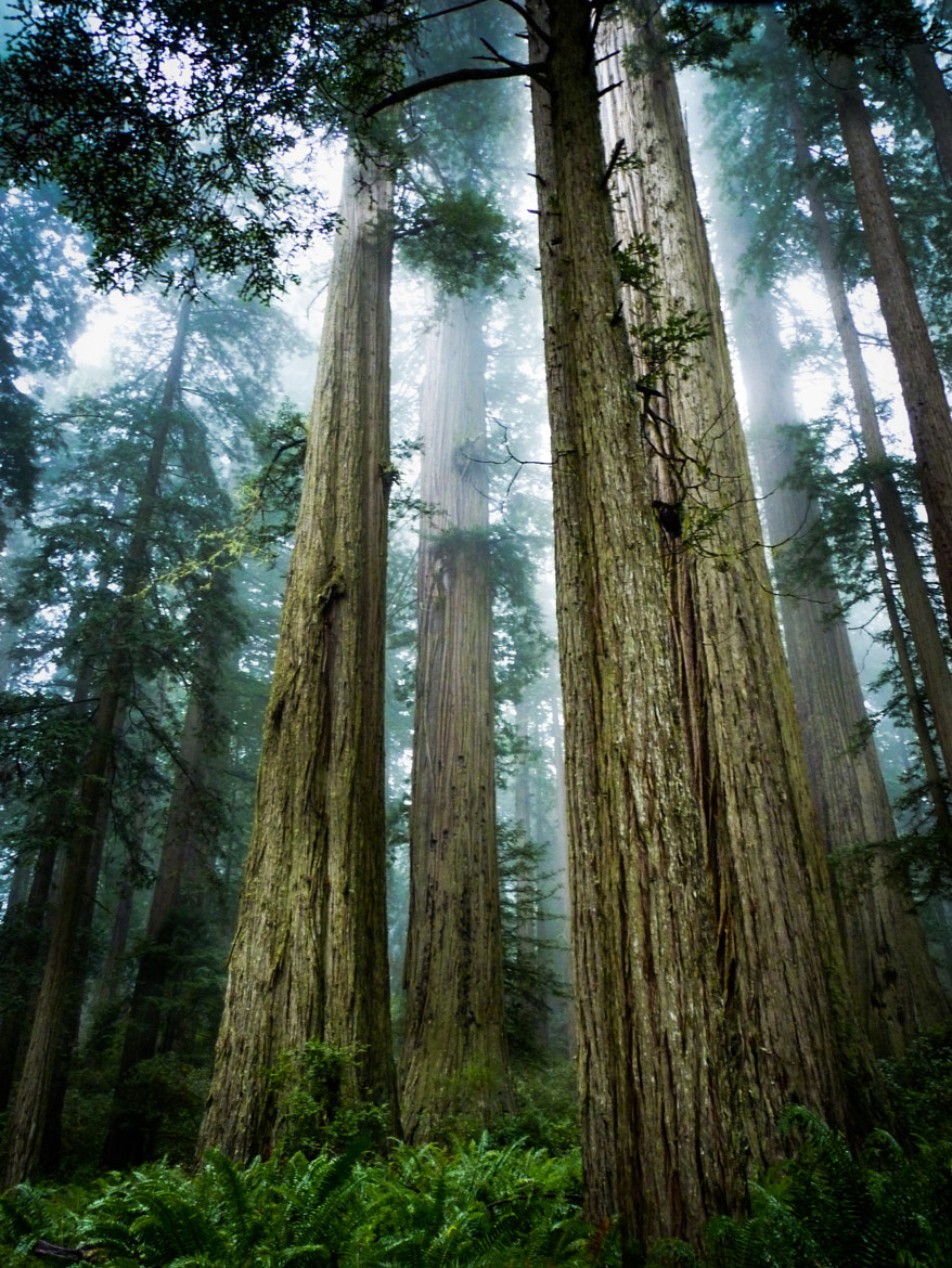 Photograph Redwoods by Michael Galassi on 500px