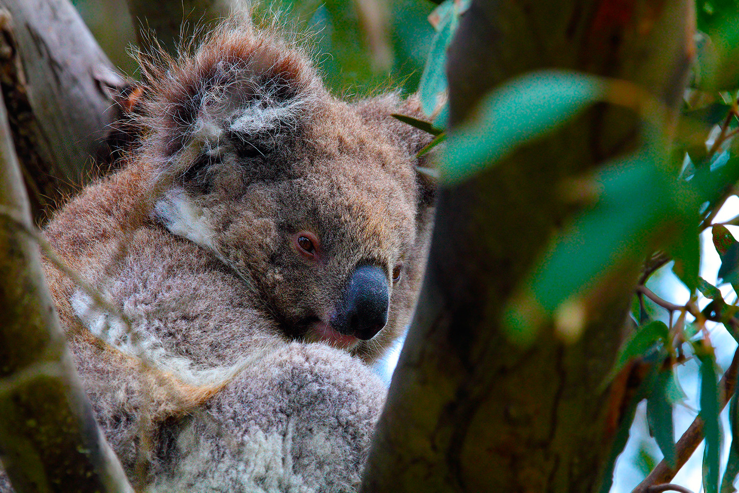 Photograph Koala,Kangaroo Island,South Australia by Paolo Guidetti on 500px