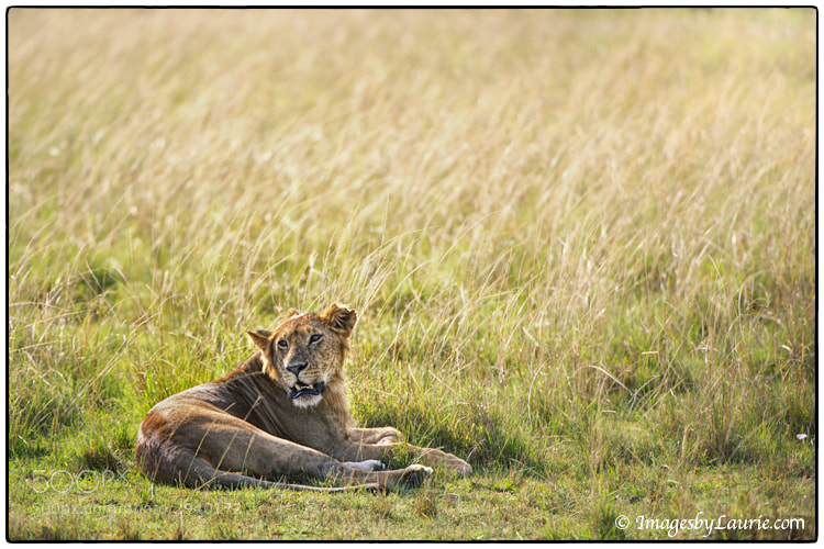The human spirit needs places where nature has not been rearranged by the hand of man. ~Author Unknown  African Lion (Maasai Mara, Kenya)