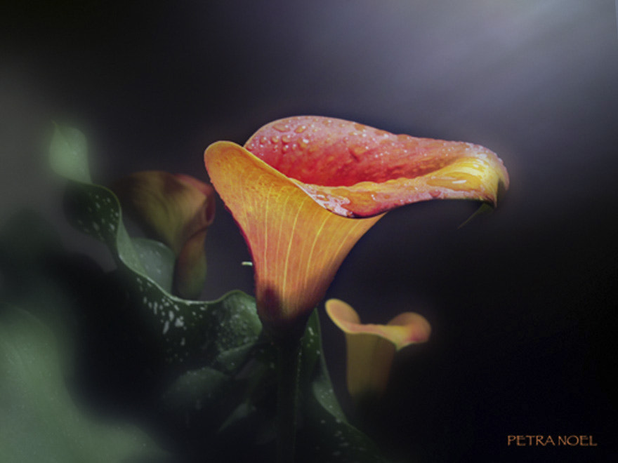 Photograph Tycoon Calla Lily by Petra Noel on 500px