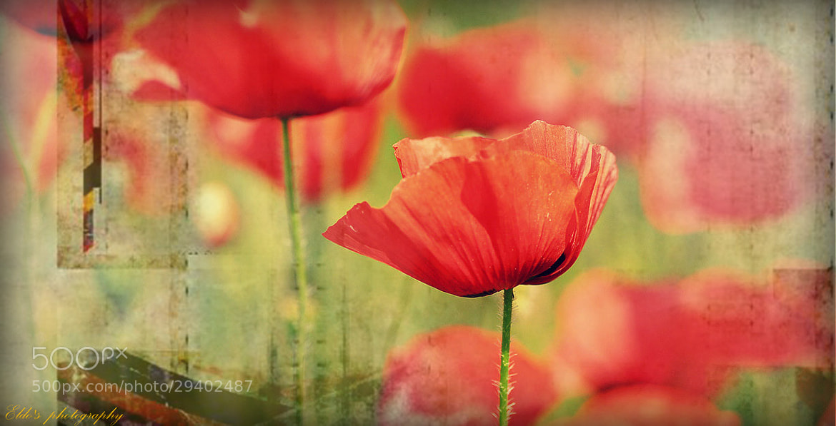 Photograph poppies dream by Eldo  Wae Lah on 500px